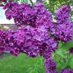 home information-perennials-home improvement ideas