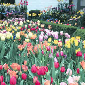 home information-tulip-home improvement ideas