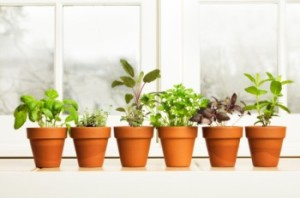 home information-herbs-windowsill