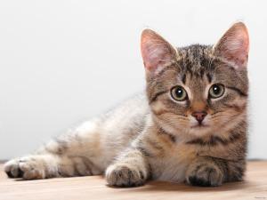 pet cats-household pets-information guru